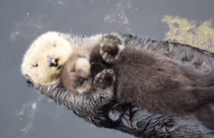 Oh God, Just Look At This Baby Otter Sleeping On His Mom