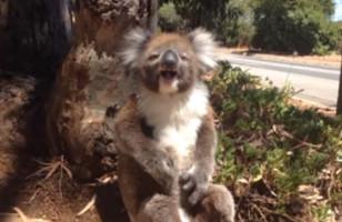 Umm, This Koala Having A Temper Tantrum Is Unreal