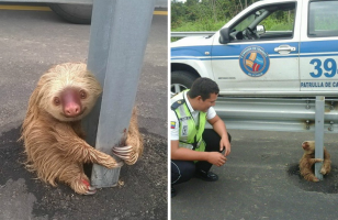 Some Photos Of The Cutest Baby Sloth Rescue Of All Time