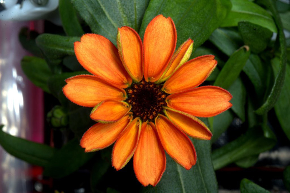 This Edible Zinnia Is The First Flower Grown In Space