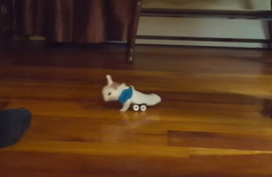 This Tiny Baby Bunny In A Wheelchair Is Next Level Cute