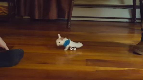 bunny sock wheelchair a paralyzed baby bunny in a wheelchair