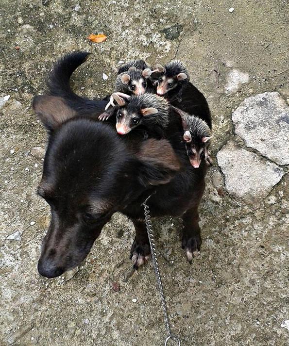 Dog Adopts Possum