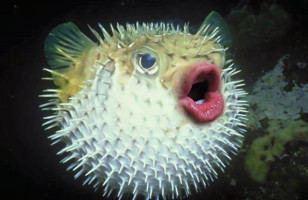 Donald Trump's Mouth Photoshopped Onto Puffer Fish
