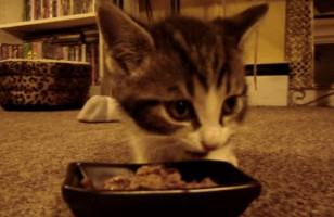 "This Tiny Kitten Says ""Yum Yum Yum"" While Eating His Food"