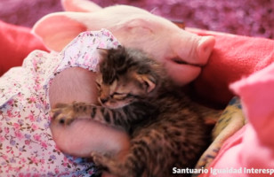 Watch A Piglet Love On A Kitten And Try Not To Scream