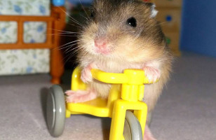 The Pipsqueakery Is A Hamster Rescue Group & Sanctuary