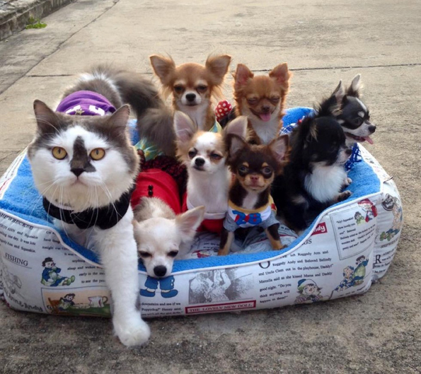 Meet Richie, The Cat Who's Got Seven Chihuahua Buddies