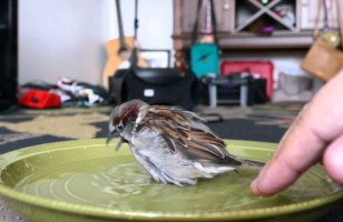 Sparky The Sparrow Taking A Bath Is Pretty Damn Cute