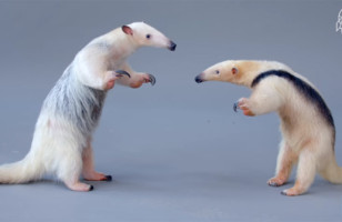 Anteaters Meet For The First Time And It Is Adorable AF