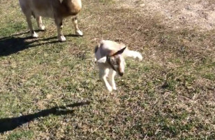 A Baby Goat Practices Jumping And Now I Am Dead, Byeeee!