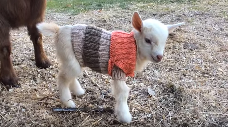 Baby Pygmy Goats In Sweaters