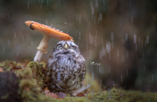 An Owl Using A Mushroom As An Umbrella Is Ridiculously Cute