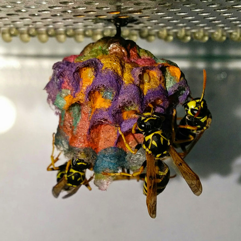 Wasps Make Rainbow Nests When They Have Colored Paper