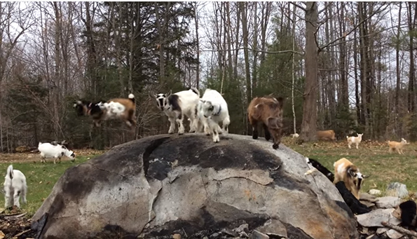 Baby Goats Playing King Of The Mountain Is Too Cute