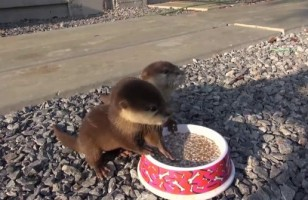 Baby Otters Eating Is Pretty Much The Cutest Thing Ever