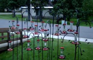 Lots Of Hummingbirds Swarming Feeders Is Hypnotizing