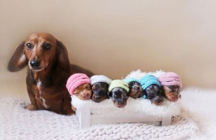 A Wiener Dog Has A Newborn Photoshoot With Her Pups