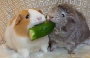 Ponyo The Guinea Pig Does NOT Like Sharing Her Food