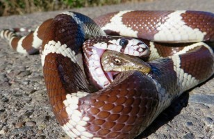Whoa! A Photo Of A Lizard Biting The Snake That's Eating It