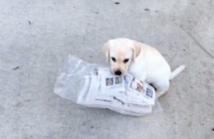 This Puppy Trying To Carry A Newspaper Is Stupid Cute