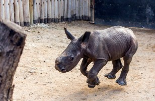 This Little Baby Rhino Comes Running When He's Called!