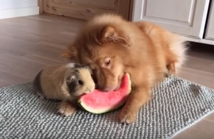 Watch As A Dog And Guinea Pig Share A Watermelon