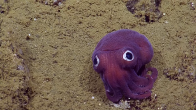 This Adorable Little Squid Looks Like A Stuffed Animal