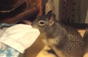 Just A Squirrel Stuffing His Cheeks Full Of Tissues, NBD