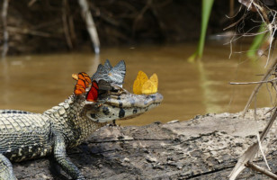 Butterflies Drinking Caiman Tears Because Mother Nature Is Crazy