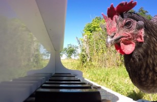 A Chicken Playing A Mini Piano Because Why The Cluck Not?