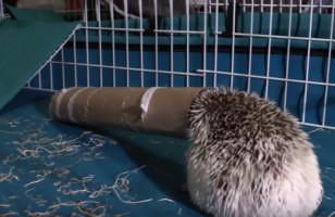 A Hedgehog Gets His Head Stuck In A Paper Towel Roll