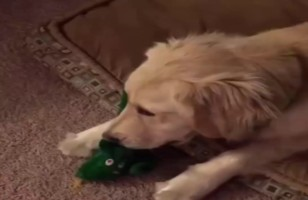 A Dog's Reaction To His Person Dressed Up As His Favorite Toy…