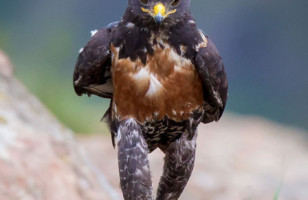 A Hawk Walking Like A Person & More Incredible Links