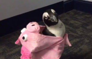 Look At This Adorable Penguin In A Pig Costume! Do It Now!!!