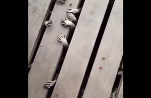 Raccoon Hands Creeping Out From Beneath The Porch…
