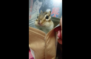A Chipmunk Popping In And Out Of A Bag Is Cute AF