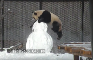 Giant Panda Vs. Giant Snowman: WHO WILL WIN???