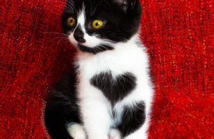 Meet Zoë, A Cute Cat Born With A Heart On Her Chest