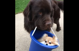Here's A Big Dog Carrying Around A Little Dog In A Bucket