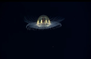 This Footage Of A Glowing Jellyfish Will Blow Your Mind