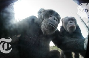 A Mischievous Chimp Takes Selfies With A Stolen Camera