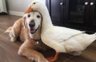 These Dog And Duck Best Friends Will Make You Smile
