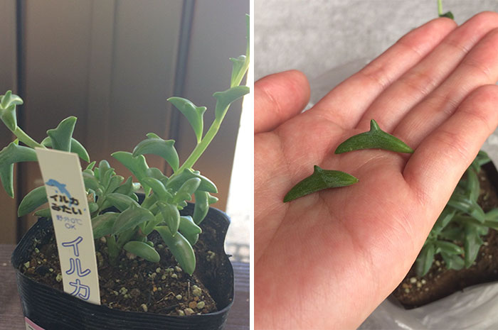 Check Out These Awesome Dolphin Succulents From Japan