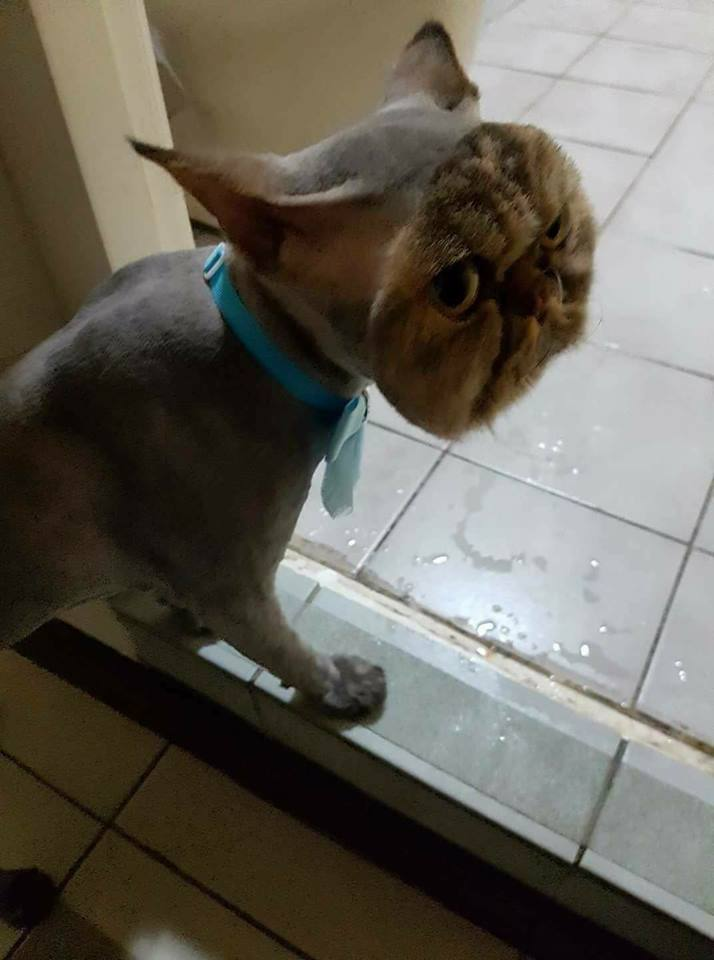 A Cat Completely Shaved Except Its Face & More Incredible Links