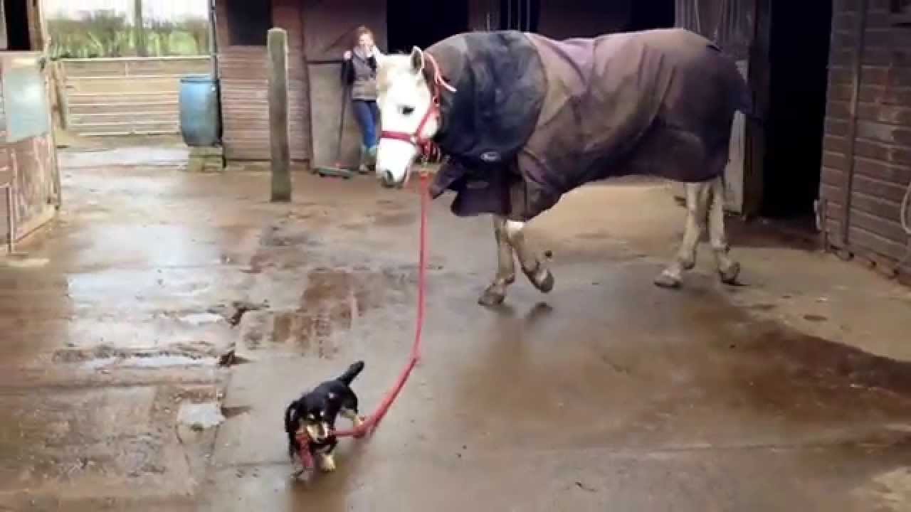 A Little Wiener Dog Leads A Horse And It S Just Adorable