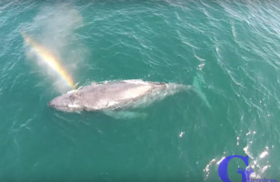 Watch A Humpback Whale Shoot A Rainbow From Its Blowhole