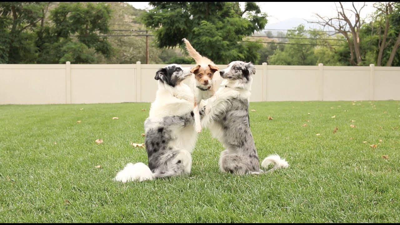 Wow! See These 4 Dogs Do Some Awesome Tricks Together