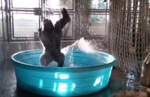This Gorilla Dancing In A Pool Is The Best Thing Ever