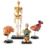 Bundle Set of Human Anatomy Models